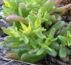 Gunniopsis intermedia-6.jpg -