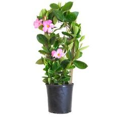 Create a beautiful look to your home with this United Nursery Grower Pot Tall Mandevilla Trellis Sun Parasol Giant Pink Live Outdoor Vining Plant. Large Flowers, Pink Flowers, Deadheading Flowers, Mandevilla Vine, Palm Plant, Fern Plant, Sun Parasol, Pink Live, Evergreen Vines