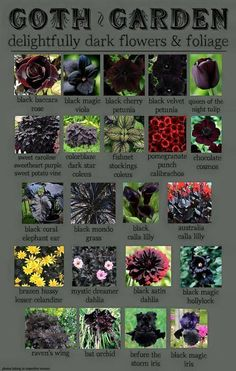 and Amazing Or we could just call it dark foliage plants! A collection of potential plants.Or we could just call it dark foliage plants! A collection of potential plants. Black Garden, Witch Garden, Plants, Planting Flowers, Garden Plants, Black Flowers, Flowers, Gothic Garden, Dark Flowers