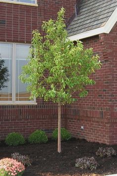 Red Jewel Crab Apple.  Currently have 1 in landscaping planted in 2009