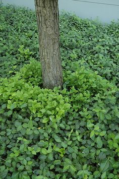 Vegetus Wintercreeper (Euonymus fortunei 'Vegetus') at Connon Nurseries CBV