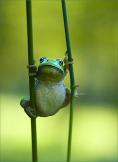 A green frog holding on to two green plants. not crazy colored but love it just the same :)