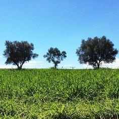 Tres arbres #paisatge #SantSadurni #Penedes