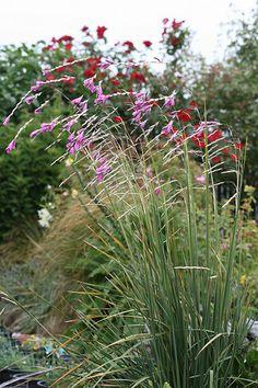 Dierama pulcherrimum - Angel's Fishing Rod
