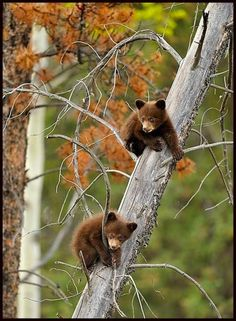Canadian Rockies Wildlife - Black bear cubs in tree- NWF 2011 photo contest, Animal babies, pro division. By Don Johnston Nature Animals, Animals And Pets, Wild Animals, Beautiful Creatures, Animals Beautiful, Photo Ours, Black Bear Cub, Bear Cubs, Baby Bears