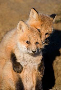 (Red Fox pups playing just outside of den, Nome, Alaska   Arthur Morris1) Tumblr