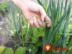 My sa pri pestovaní cesnaku riadime tým, čo nás naučila naša mama a čo ona zdedila po svojej mame a jej predkoch. Doposiaľ sa nám tieto rady osvedčili, úroda cesnaku je u nás v záhrade vždy veľká. Rada sa podelíme aj s ostatnými. :-) Plants, Gardening, Lawn And Garden, Plant, Planets, Horticulture