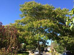 Mimosa tree / Persian Silk Tree, Albizia julibrissin. July 2016