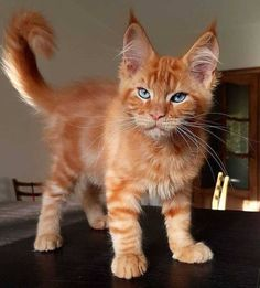 Interested in owning a Maine Coon cat and want to know more about them? The Maine Coon kitten adoption will Cute Baby Cats, Cute Cats And Kittens, Cute Little Animals, Kittens Cutest, Funny Kittens, Funny Pugs, Gatos Maine Coon, Maine Coon Kittens, Ragdoll Kittens