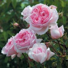 The Wedgwood Rose - David Austin Roses