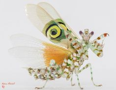 Pseudocreobotra wahlbergii (Spiny Flower Mantis) (Adult Male)