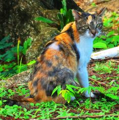 "Blog post on the feral cat herder: http://cindyknoke.com/2014/02/21/dr-cats-knoke-the-feral-cat-herder/ ""Jim speaks CAT big time. Cats are naturally attracted to him. They must know how much he likes them. For some people, herding feral cats might be problematic, not Jim, and the old city of San Juan is loaded with feral cats."""