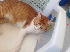 Χαθηκε ο αρσενικός γάτος της φωτογραφίας απο την οδό Υψηλάντου και Θεμιστοκλέους στον Αλιμο
