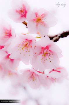 Good Morning! Cherry Blossoms