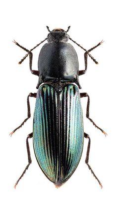 Selatosomus puncticollis