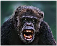 Trump+chimp.jpg (1000×808)