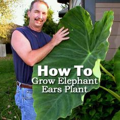 How To Grow Elephant Ears Plant; love mine and now I know what to do with it over the winter!