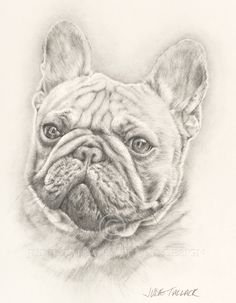 French Bulldog Study #2. Pencil Drawing. Pet Portrait Commissions Taken. Fine Art Giclee Prints available