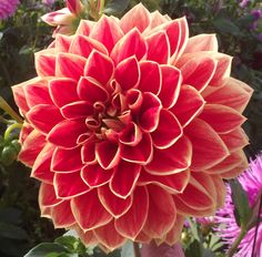 Dahlia 'Caballero' - Feed your plants with GrowBest from http://www.shop.embiotechsolutions.co.uk/GrowBest-EM-Seaweed-Fertilizer-Rock-Dust-Worm-Casts-3kg-GrowBest3Kg.htm