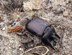 Driehoornmestkever (Typhaeus typhoeus) ♂