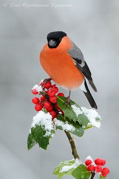 **Camachuelo Común (macho) y Felices Fiestas - Eurasian Bullfinch (male) and Happy Holidays