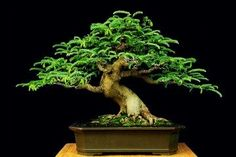 Tamarind bonsai - their characteristics, pruning tips, and care...from BonsaiMary. I love the way the feathery foliage grows in swirls...this is unique and you will always instantly recognize a Tamarind bonsai.