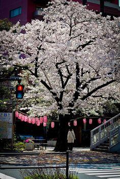 Under the Sakura tree, Japan