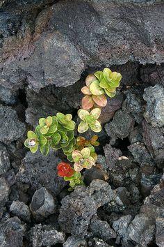 """Hawaii Volcano National Park """"Lava & Life"""""""