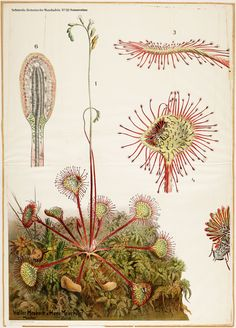 Drosera, Pinguicula, Schmeil Serie 'Botanische Wandtafeln', early 20th century Botanical Drawings, Botanical Illustration, Botanical Prints, Illustration Art, Carnivorous Plants, Botany, Flower Art, Art Flowers, Dandelion