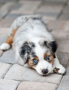 An Aussie puppy with cute blue eyes. I'm determined to own a dog like this!