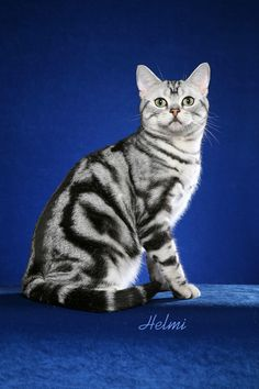 American Shorthair - photo by Helmi