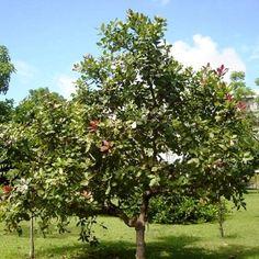 αυξανόμενο Cashew tree_mini