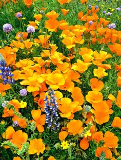 California Poppies And Betham Lupines Southern California by Dave Welling