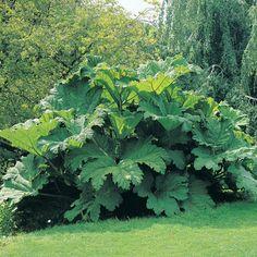 Gunnera manicata (Large Plant) - Perennial & Biennial Plants - Thompson & Morgan
