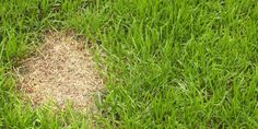 How to Fix Dog Urine Patches In Grass - How to Repair Your Lawn. You're just three steps away from a lush lawn. Reseeding Lawn, Patio Chico, Lawn Repair, Lawn Care Companies, Lawn Care Tips, Dog Urine, Pergola Pictures, Lush Lawn, Dog Pee