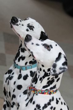 Dalmatian puppies. | Flickr - Photo Sharing❤️