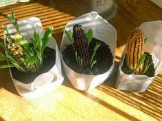 indian corn experiment