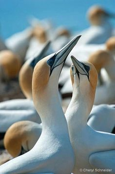 Gannets  -  Gannets are seabirds comprising the genus Morus, in the family Sulidae, closely related to boobies.