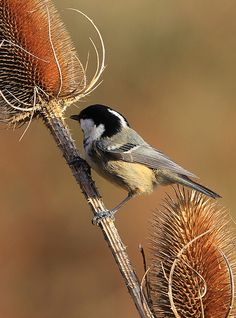 Coal Tit on Teazel seed pod