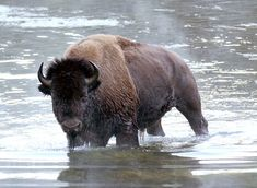 """""""Bison in the Yellowstone River Bryan Maynes Photography """""""