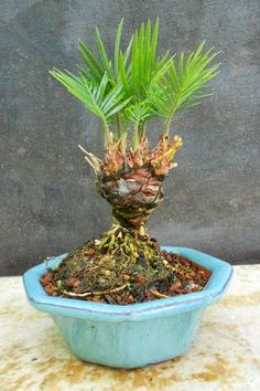 Multi-Head Sago Palms-Bonsai Beginnings Bonsai Forest, Bonsai Art, Bonsai Plants, Bonsai Garden, Bonsai Trees, Sago Palm, Concrete Sculpture, Garden Stairs, Mini Bonsai