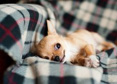 The Chihuahua dog is one of the cutest dog breeds on the planet simply because of their small size and Continue reading #DogBarking #DogCutest
