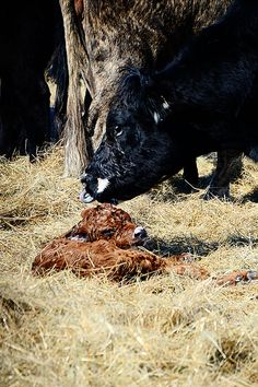 Baby cows get to stay with their mothers for a while until they are weaned; then they cry and cry.
