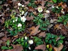 The Christmas Rose, more properly known as Helleborus niger.  This German variety named 'Jacob' is a compact and refined plant 6 to 8″ tall with graceful, smooth dark green leaves.  It starts blooming in mid-November with copious 2 to 3″ white flowers maturing to rose, and continues to produce buds into May.