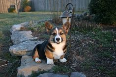 Little Corgi Sam