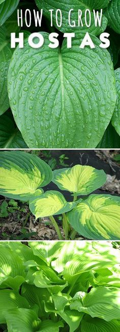 How to Grow (and love!) Hostas!