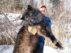 Wolf-killers admit it's all about the sadistic sexual thrill: http://www.examiner.com/article/wolf-killers-admit-it-s-all-about-the-sadistic-sexual-thrill
