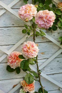 Image result for clotilde soupert rose