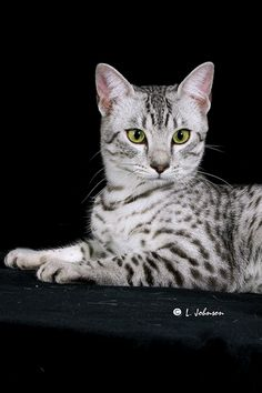 Egyptian Mau Queen.  My absolute favorite kind of cat