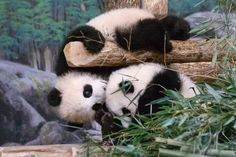 https://flic.kr/p/HZWwwr | Giant Panda Cubs | Toronto Zoo-2 | Canada's first…